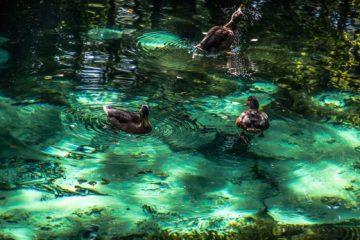Tomaszów kaczki